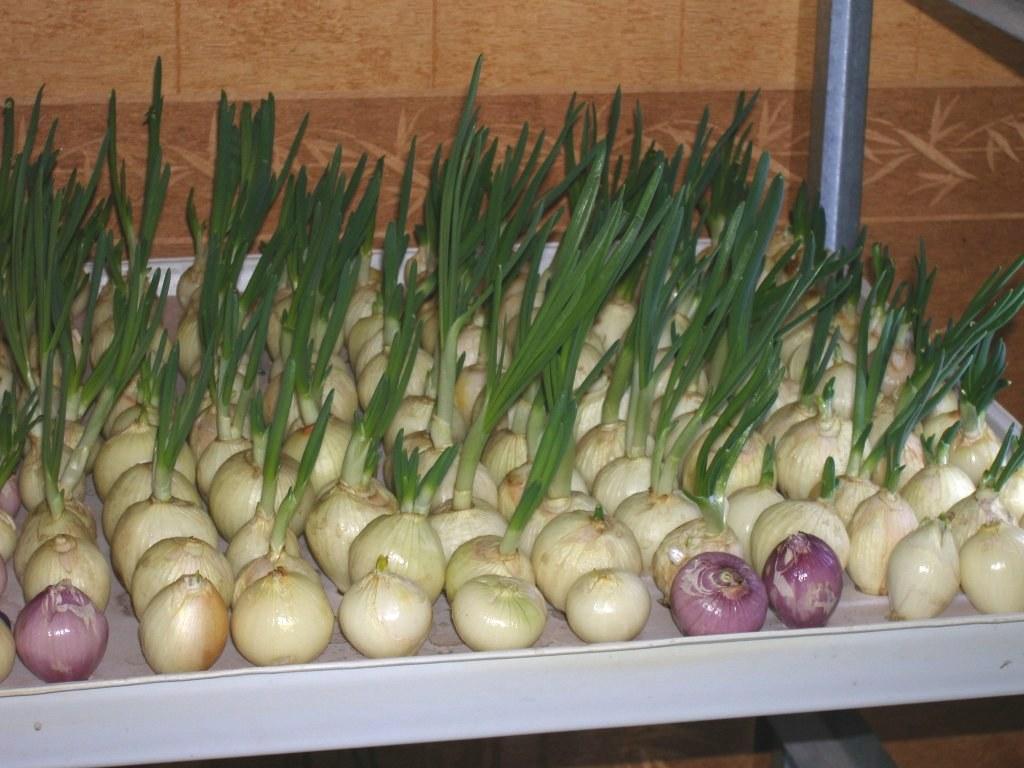 Выращивание лука в контейнере 207