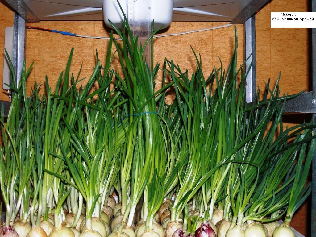 Как зарабатывать на выращивании лука 412