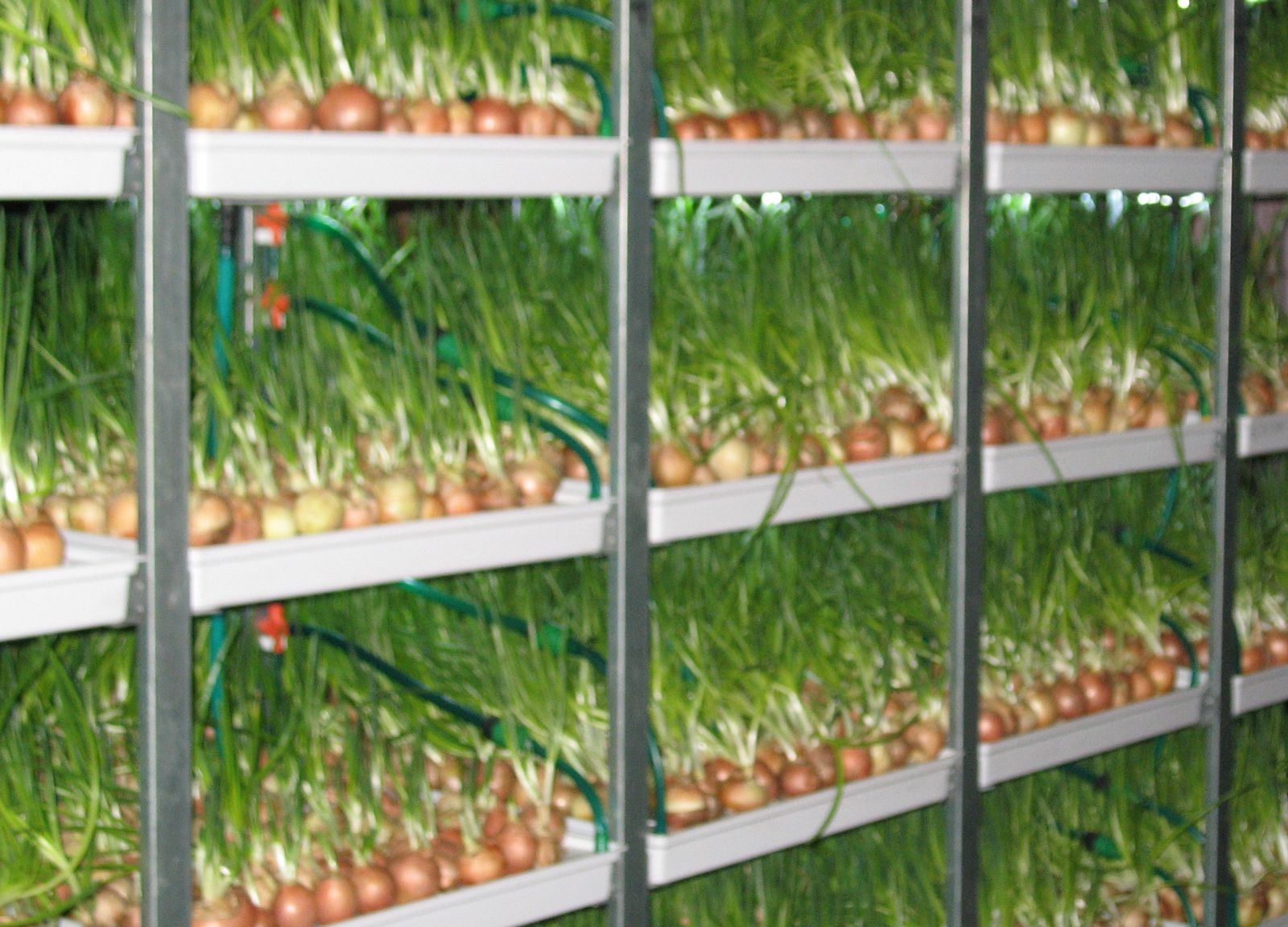 Выращивание зеленых на гидропонике 1